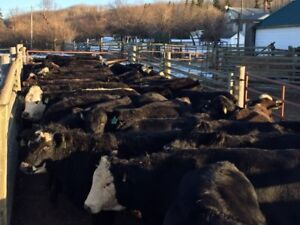 Quality Home Raised Bred Heifers - Red and Black Angus