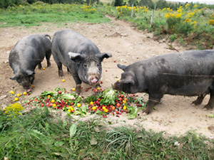 2 Berkshire sows for sale
