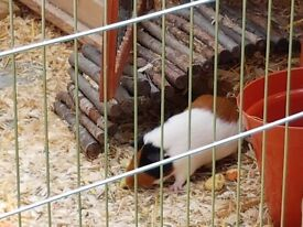3 Guinea pigs and set up for sale