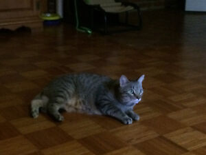 Lost grey tabby cat - 2 years old, 15lbs