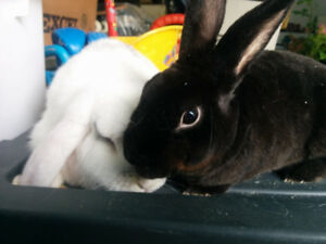 1 Rex + 1 Lopeared | Neutered, litter trained rabbits
