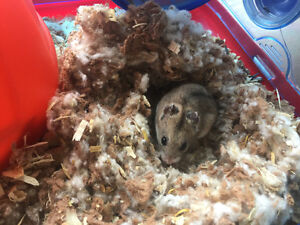 Chinese dwarf hamster West Island Greater Montréal image 1