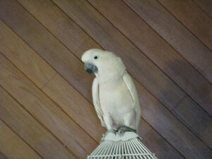 MOLUCCAN COCKATOO TO REHOME
