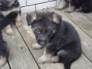 Chiots Berger Allemand pur race