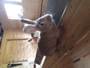 Female Flemish bunny