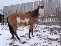 Offing for sale Big & Beautiful Buckskin Overo 2 year old Filly