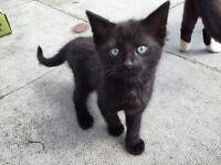 9week old female kitten
