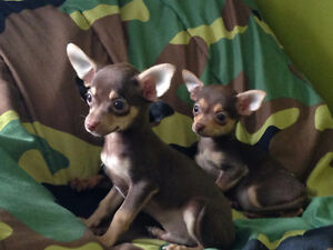 CHIHUAHUA PUPPIES FOR SALE/A VENDRE PUR SANG