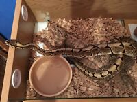 Royal Python - Male Spider - SNAKE ONLY