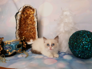 SOLD Blue Bi Colour Male Ragdoll Pedigree Papered