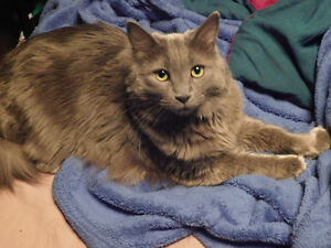 MISSING ALL GREY FEMALE CAT
