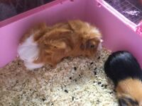 female guinea pig pair for sale