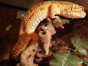 Lizards For Sale Kijiji In Ontario Buy Sell Amp Save
