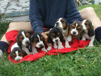 Full bread basset hound pups
