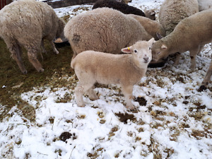 Replacement Ewes for sale
