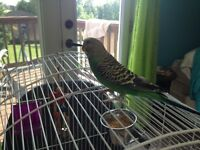Beautiful Young Budgie For Sale