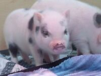 Mini Pet Pigs from a CERTIFIED BREEDER!