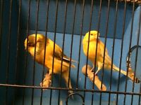 Yorkshire canaries for sale