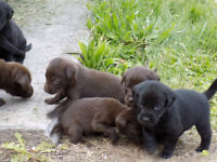 Chocolate and black lab puppies
