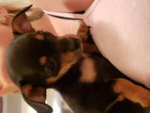tiny chiweenie puppies for sale