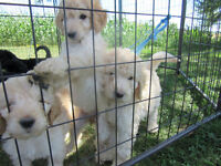 MINI GOLDENDOODLE puppies. Black or Gold