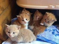 Ginger kittens last 1