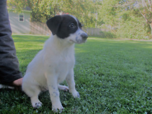 Germen Shepherd mix puppies