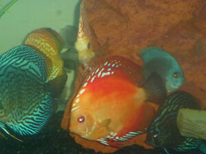 DISCUS DELIGHT JUST PICS  NOT 4 SALE
