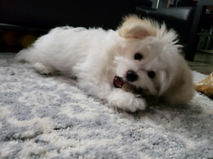 Shih Tzu Adopt Dogs Puppies Locally In British Columbia Kijiji
