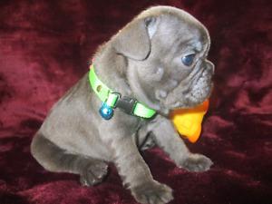 *RARE* BLUE* French Bulldog puppies. QUALITY!