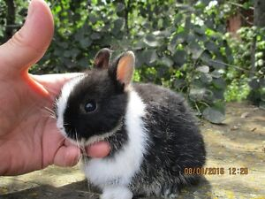 Purebred Netherland Dwarfs, Lionhead and Holland Lops bunnies