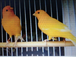 Canaries  Canaries  Canaries