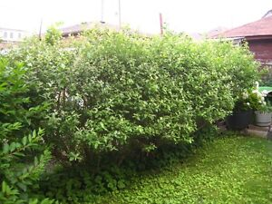 3 VERY LARGE P-willow BUSHES/TREES--$100 FOR ALL 3