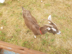 Goat and baby buck for sale