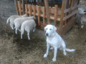 5 Dorper ewes $250 each,and one 9 month guardian dog $ 400