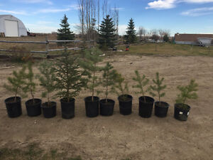 Perfect Weather for Planting! 2-3.5 ft Scotch Pines for Sale. Regina Regina Area image 1