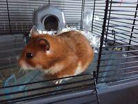 SUPER FRIENDLY 10 month old hamster