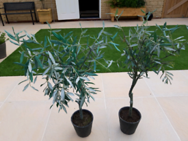 Artifial Olive trees
