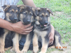 Healthy and Adorable purebred German shepherd puppies.