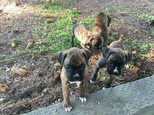 CKC reg. Boxer Puppies.  Health Tested Champion Lines