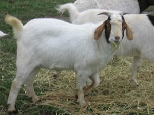 Adopt Or Rehome Livestock In Owen Sound Pets Kijiji