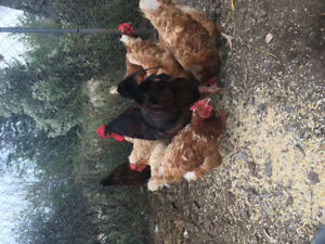 10 - 2 YEAR OLD BROWN LAYING HENS & ROOSTER TO GIVE AWAY
