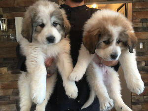 2 male puppies for sale and ready to go!