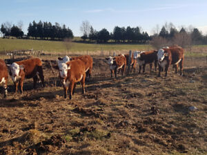 Hereford heifer calves