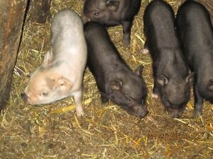 Cochons Vietnamiens a vendre