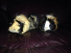 2 guini pigs to give away free