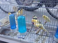 Beaux Canaries a vendre