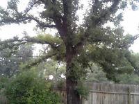free oak firewood
