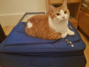 Orange and white cat missing in the West End