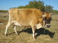 Bred Milking Jersey Cow For Sale By Auction